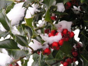 Stuart Wilding / Holly Berries in Snow
