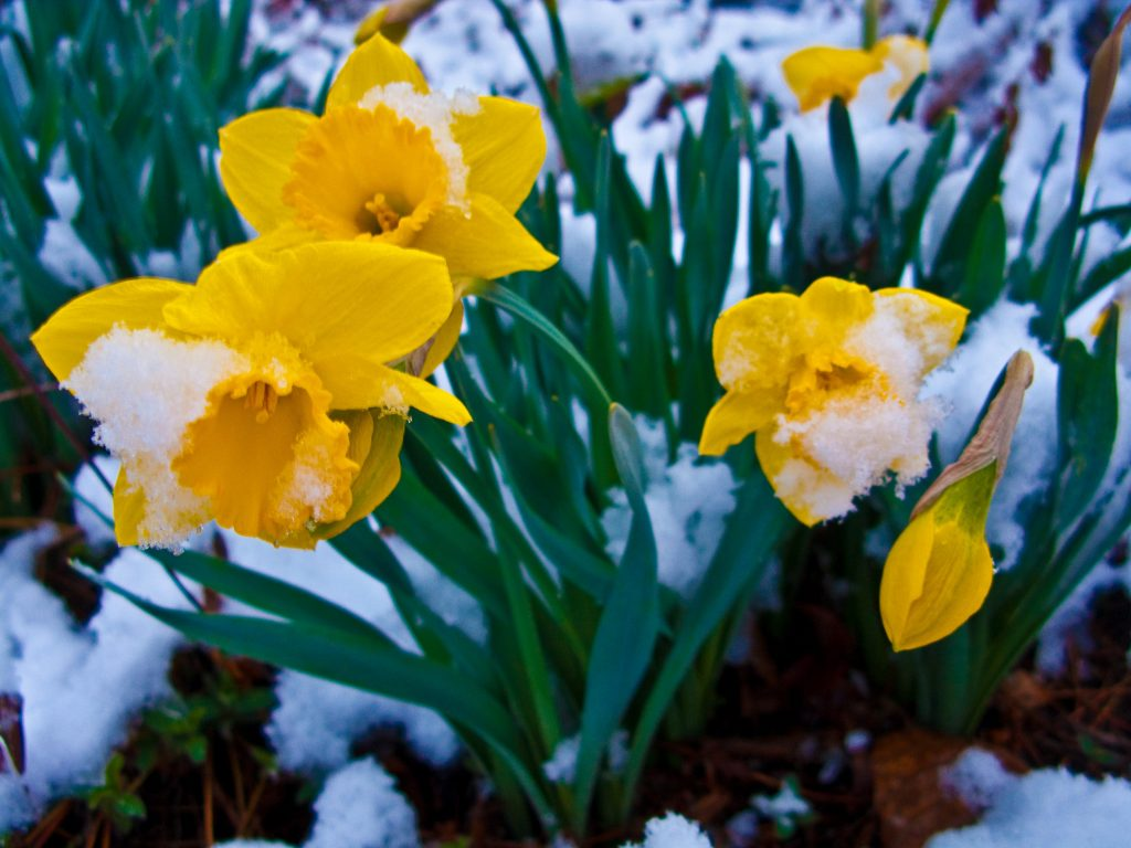http://www.ForestWander.com, Snow-covered-daffodil-flowers - West Virginia - ForestWander, CC BY-SA 3.0 US