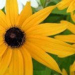 Source: Shelby Raymond {{FAL}} Category:plantsCategory:flowers